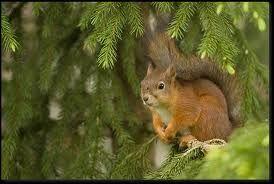 Eekhoorns kunnen we regelmatig tegenkomen in bosgebieden. In totaal zijn er ongeveer 270 soorten eekhoorns, in Nederland komt alleen de rode eekhoorn voor. Eekhoorns hoe zien ze er uit, waar leven ze, wat eten ze en nog meer zaken komen aan de orde in dit artikel.