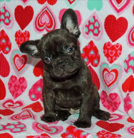 Rare chocolate French Bulldog puppies for sale