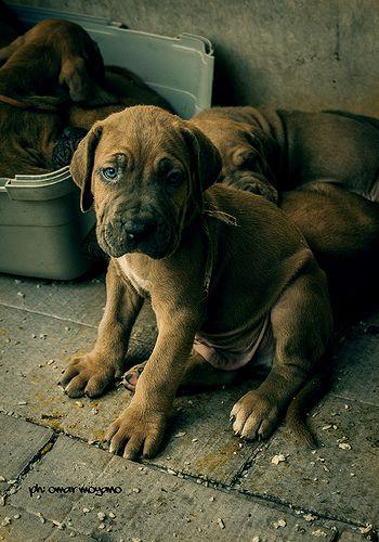 0161 @OmarMoyano #cachorro #puppy #dog #perro #fila #brasilero #criadero #argentina