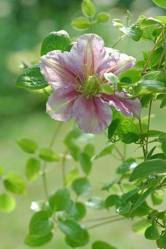 Clematis Flower. Flowers. CUTE Flowers