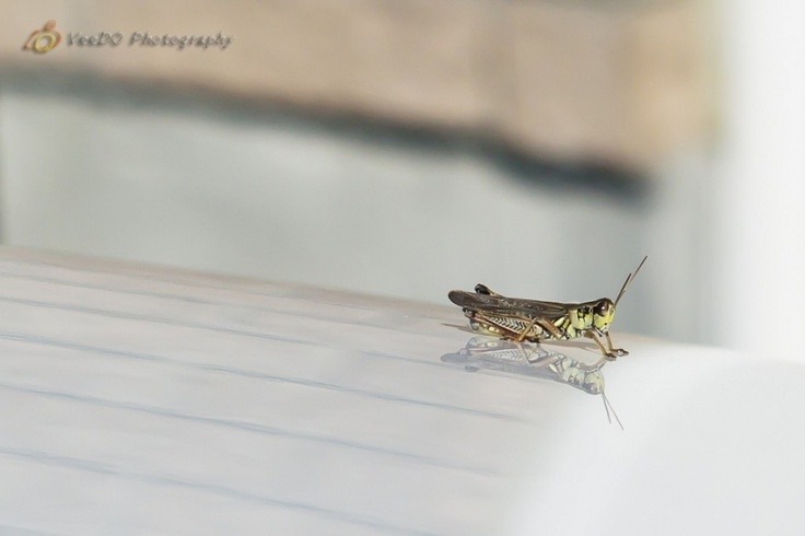 066 Grasshopper #365project http://www.veedophotography.com/066-project-365/