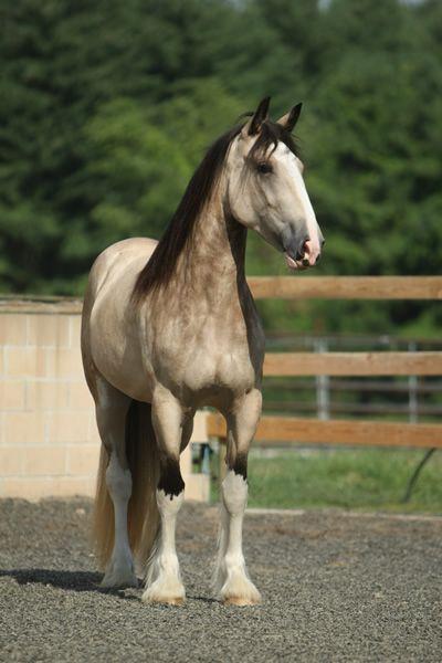 Freedom's Jolie Prize - Purebred Shire mare