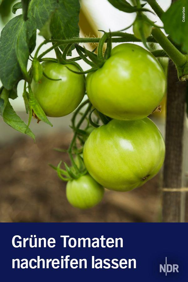 Grune Tomaten Nachreifen Lassen Tomaten Nachreifen Lassen Grune Tomaten Tomaten