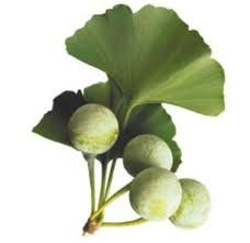 GINKGO BILOBA - Medicinal properties: In the ailment of Circulatory disorders, forgetfulness, arteriosclerosis, Claudication, Intermittent claudication, Skin ulcers due to lack of blood flow, decubitus, Bedsores, Circulatory disorders,diabetes, asthma, bronchitis, Worm disease, Wounds (externally),Stomach problems