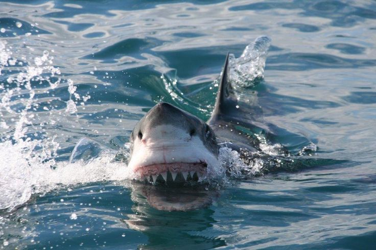 Shark cage diving and shark tours with Marine Dynamics in Gansbaai, South Africa. Only 2 hours from Cape Town. www.dirtyboots.co.za #dirtyboots #sharktours #capetown