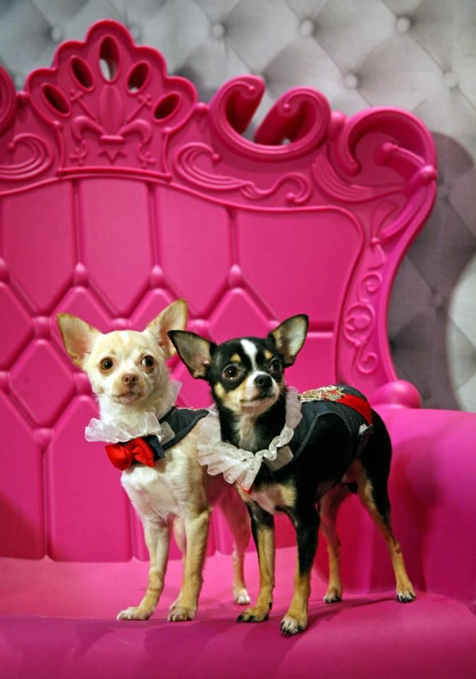 Celebripups / Couture Dogs Of New York Kimba on left and Bogie on right pose for photographer wearing couture harnesses by world renowned Pet Couturier Anthony Rubio