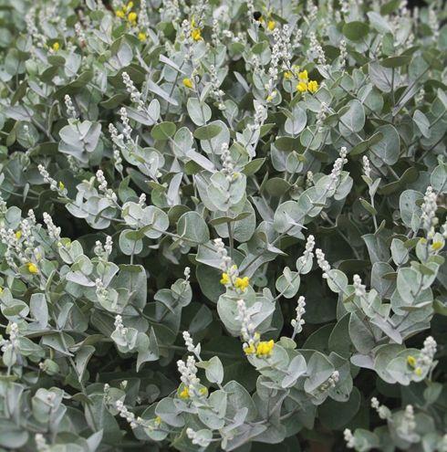 Wooly Wild Indigo for sale buy Baptisia arachnifera - NOT OUTSIDE NC