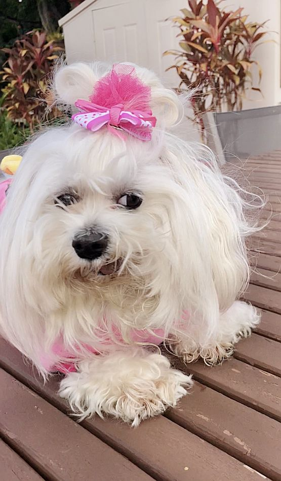 Pin By Sasha Maltese Toy On Sasha Maltese Toy Cute Dogs Dogs Doggy