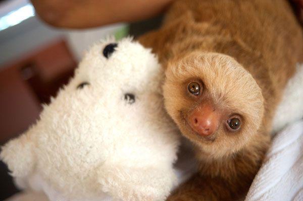 Piccoli bradipi crescono