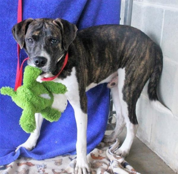 Peanut Adoptable Dog Young Male Plott Hound Boxer Mix Ocala Fl Plott Hound Dog Adoption Boxer Mix