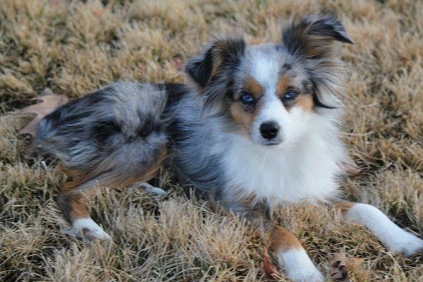 Adult Mini Aussie | Toy blue merle female, 2 blue eyes, ASDR registered