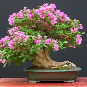 bonsai | Bonsai and normalBougainvilleas will flower nearly all year round in ...