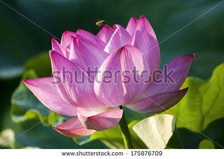 Lauren Proctor Photography   Bee Hovers over Pink Lotus Flower on Shutterstock