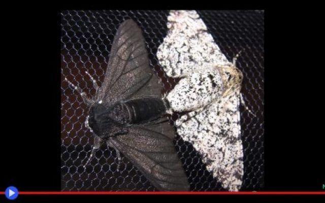 """L'effetto più strano dell'inquinamento sulle falene La questione del lepidottero Biston betularia, o come la chiamano gli inglesi """"falena sale e pepe"""", viene spesso citata nei libri e nelle conferenze di biologia, come la più rapida e lampante prova #animali #insetti #falene #natura"""