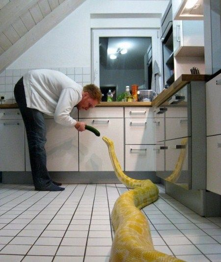 This is Julius, a female albino Burmese python from Germany. You might know her from a viral video a little while back where she showed that she could open doors
