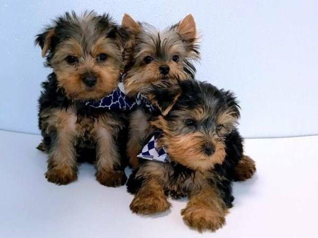 Quality Kc Reg Yorkshire Terrier Yorkshire Mascotas Yorky