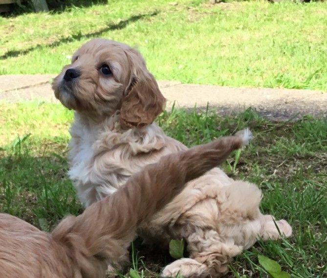 Cavapoo Puppies For Sale Charleston Sc Cavapoo Puppies Cavapoo Puppies For Sale Cavapoo