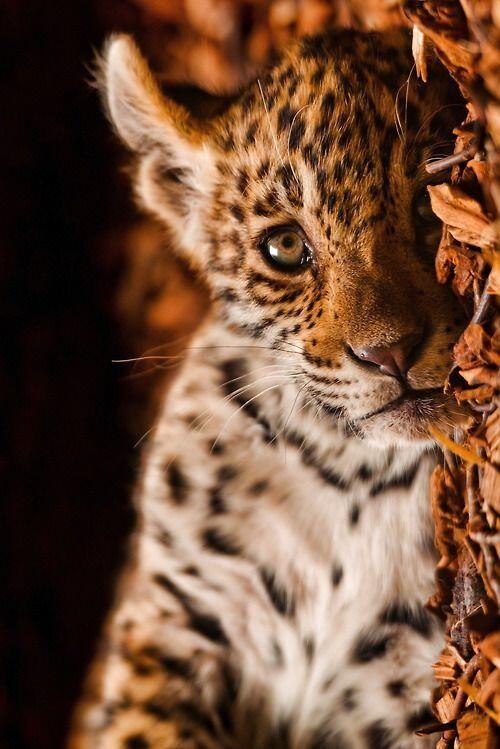 baby jaguar | Cats & Friends | Pinterest