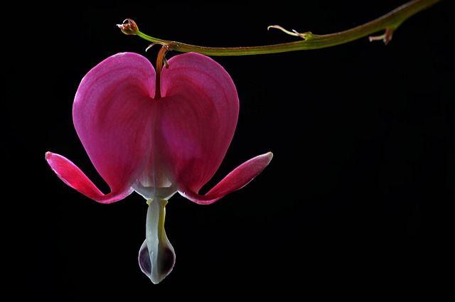 Coração Sangrando, Flor, Botânico, Macro, Natureza
