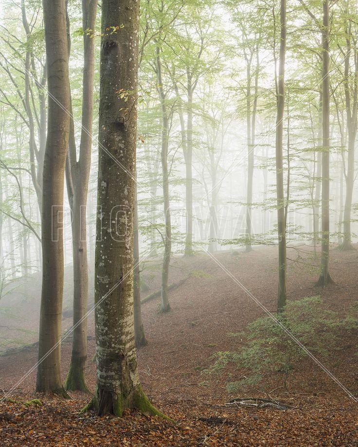 Swedish Beech Forest I - Fototapeter & Tapeter - Photowall