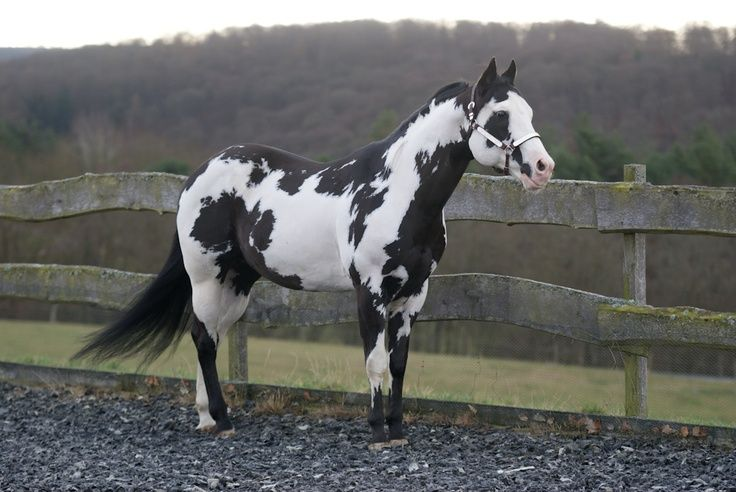 Black And White Paint Horse For Sale In Texas