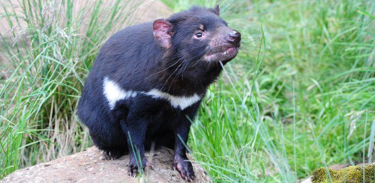 Tasmanian Devil www.australianphotos.com.au