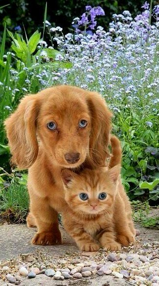 best friends.. Doxie and Kitty