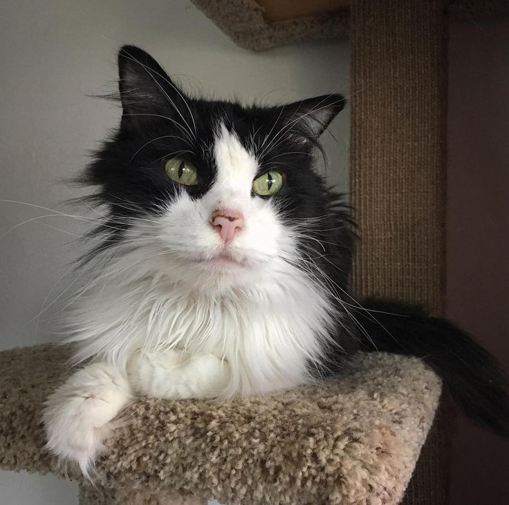 As one of the senior resident here Montero would love to see how all his old friends are doing. Did you know there is a House of Dreams alumni group on Facebook? If you've ever adopted an HoD kitty we'd love it if you'd join and post an update.   _______________________>..<_______________________  Do you love cats? Do you live in Portland OR? House of Dreams needs you as a volunteer!  As an all volunteer shelter with no paid staff we are always searching for big-hearted people willing to…