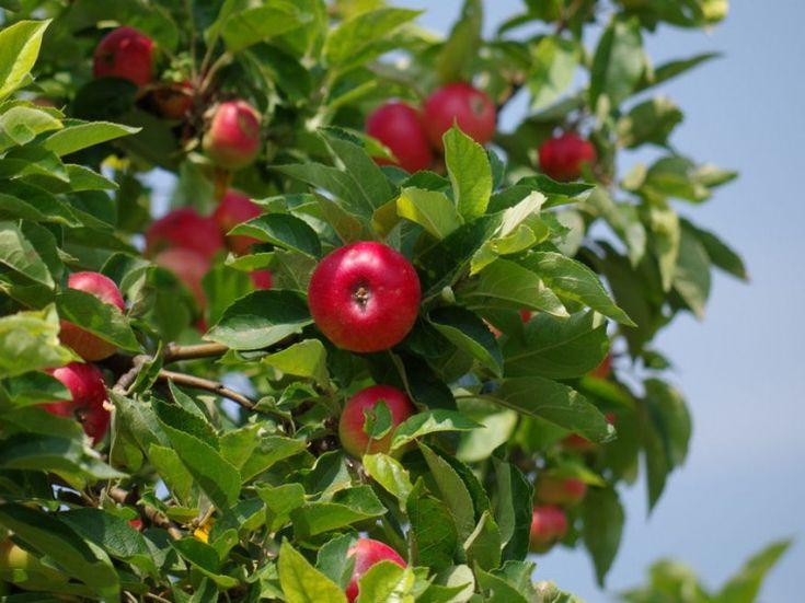 Hogyan metsszük az alma- és a körtefát nyáron?