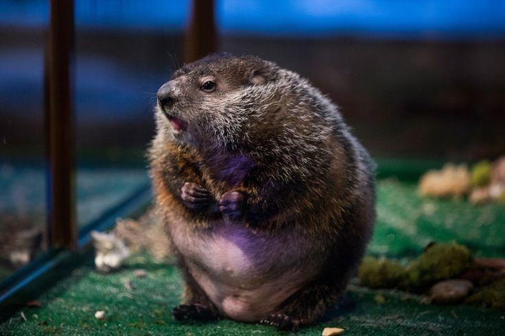 No dia nacional da marmota, animal do zoológico de Staten Island, Nova York, é exposto para prever, de acordo com a tradição, se o inverno continuará por mais seis semanas (Foto: Andrew Burton/Getty Images) - http://epoca.globo.com/tempo/filtro/fotos/2015/02/fotos-do-dia-2-de-fevereiro-de-2015.html