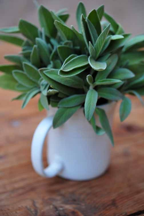 Sage has anti-inflammatory and antioxidant benefits. Sage contains thujone, which has been shown to boost the action of insulin and reduce blood sugar. #sage #diabetes #health