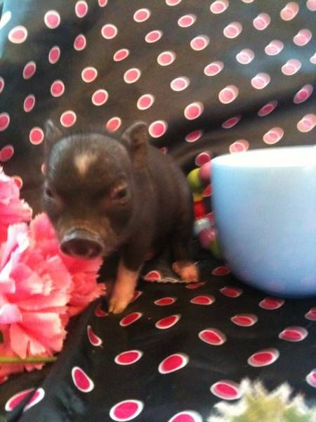 teacup pigs images for sale in tn - Google Search