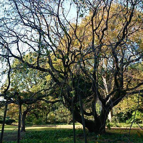 【1sakura8】さんのInstagramをピンしています。 《垂れ桜の木。#桜 #六義園 #庭園 #東京 #駒込 #緑 #日本 #和 #空 #cherrytree #rikugien #teien #japanesegarden #garden #green #tree #sky #tokyo #japan #komagome #natural #nature #view #scenery #photo #picture #sakura #shidarezakura》