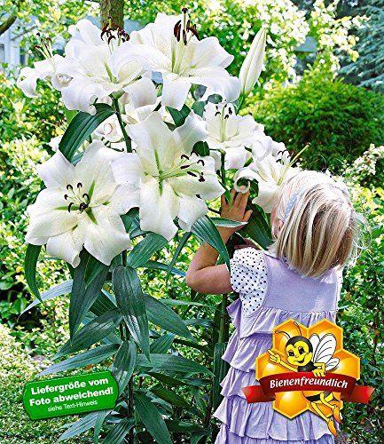 Stunning BALDUR Garten Tree Lily Pretty Woman St ck Baumlilien Lilium