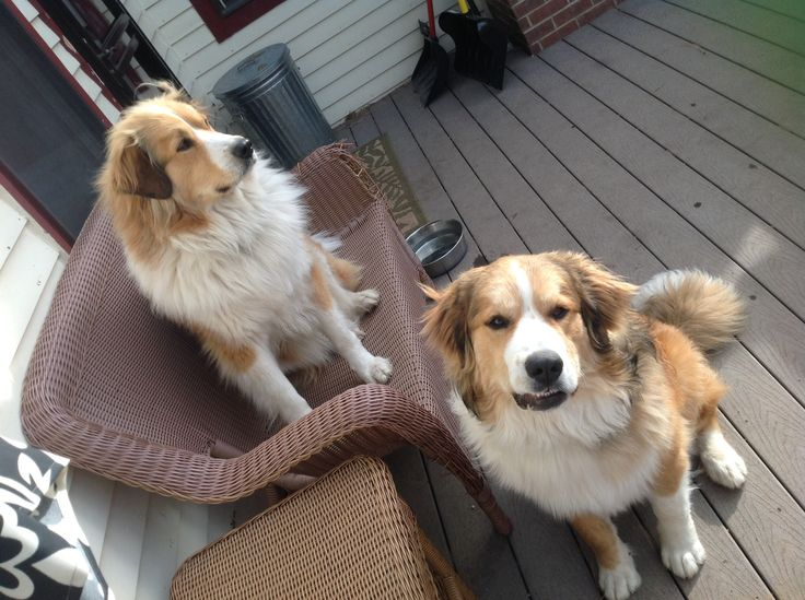 Great Pyrenees/Bernese Mixes- Great Bernese. Ruby and Copper:)
