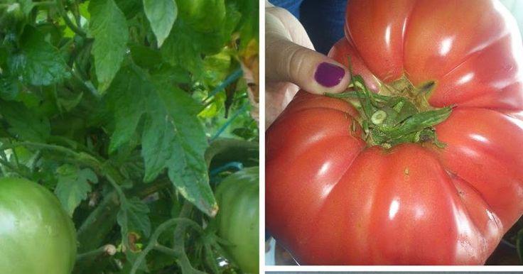El entutorado y la poda de la tomatera huerta consejos - Utiles de jardineria ...