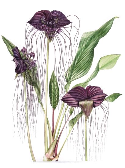 Tacca chantrieri bat flower billy showell sba for Botanic fleurs artificielles