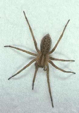 Hobo Spider. This is exactly what a Hobo Spider looks like. If the Hobo Spider is in your area be sure you know what it looks like.