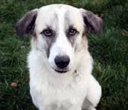 Anatolian shepherd and Great Pyrenees mix - Google Search What a face!