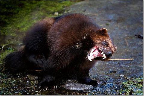 wolverine (animal) | wolverine is my favorite animal