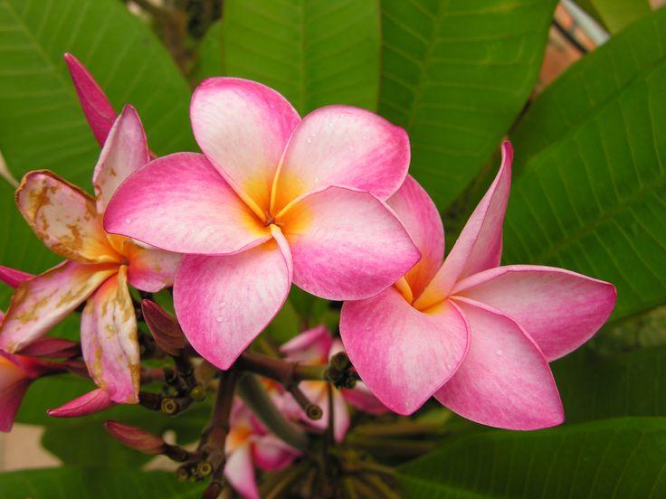 I primi fiori di plumeria sbocciati sul mio terrazzo dopo anni di attesa