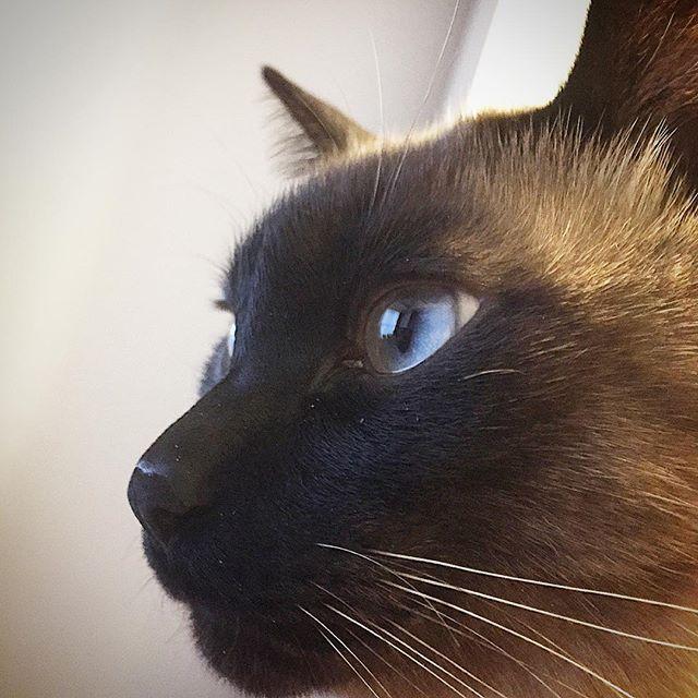 青い瞳のオレオです☆ じゃっかんシャクレ笑 #オレオ#猫#ねこ#ネコ#保護猫#愛猫#シャムミックス#ねこすたぐらむ#にゃんすたぐらむ#にゃんだふるらいふ#しゃくれ#青い目#cat#cats#catsofinstagram#catstagram