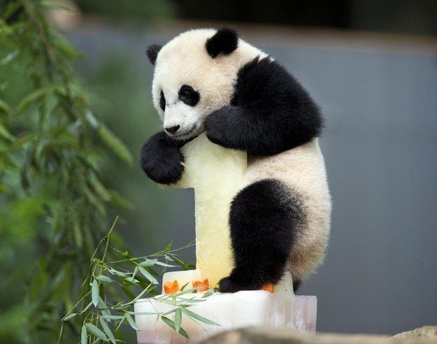 Bao Bao the panda celebrated her first birthday at the National Zoo in Washington, D.C. Saturday.