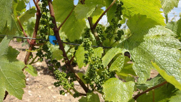 Vigne#Travail#Montgueux - Champagne Leroy Meirhaeghe