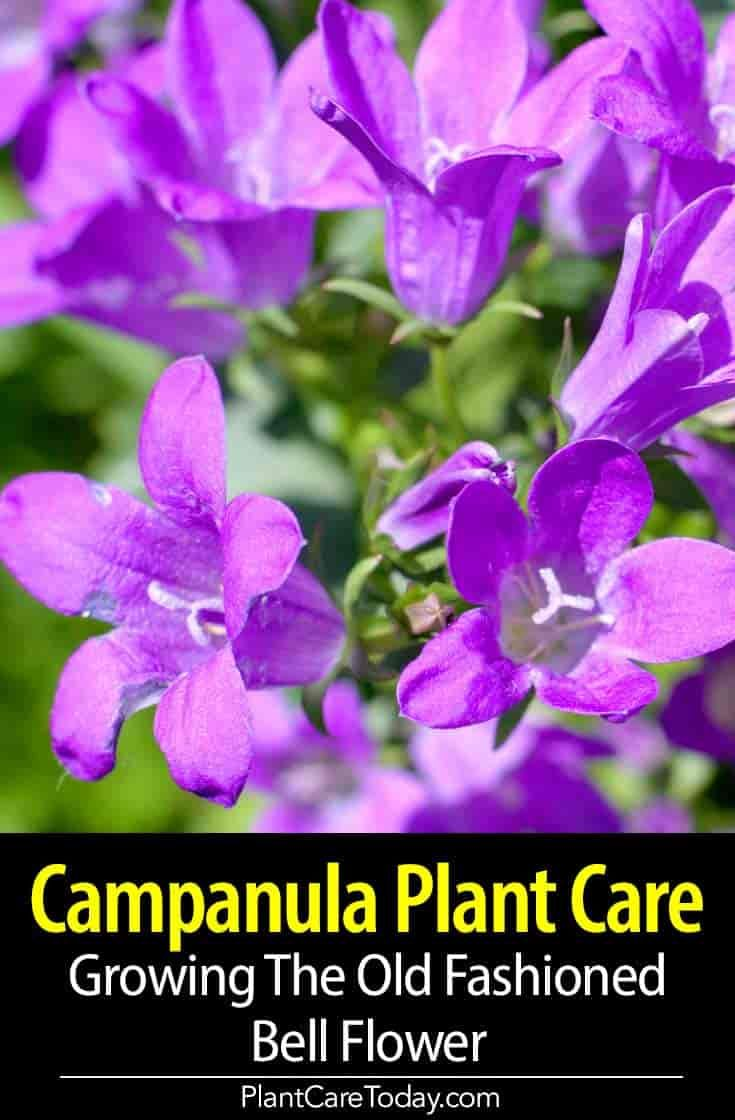 Campanula Flower Care Growing The Old Fashioned Bellflower Campanula Plant Plant Care Campanula Flowers