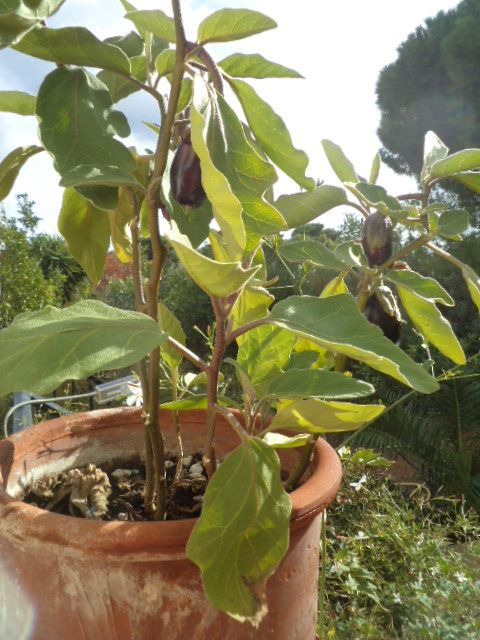 My winter aubergines, or eggplants, or melenzane, in their pot! The experiment that I started, by planting the seeds early in September, worked and made me happy and proud!_©Peggy Carajopoulou-Vavali