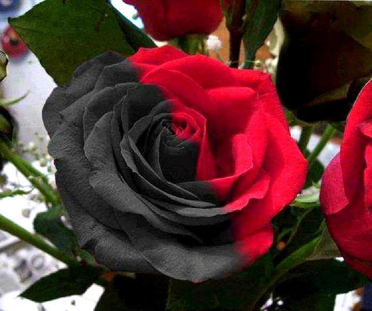 95 Best Roses Images On Pinterest