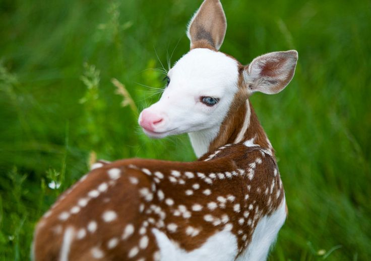 A rare white-faced fawn : awww... A.K.A. a PIEBOLD deer ~  Piebold means unusual patches of 2 different colors  |  She's an odd mix of cute & creepy