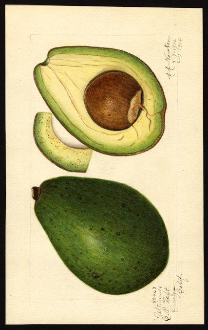 Artist:     Newton, Amanda Almira, ca. 1860-1943  Scientific name:     Persea  Common name:     avocados  Variety:     Ultimate  http://usdawatercolors.nal.usda.gov/download/POM00004607/screen