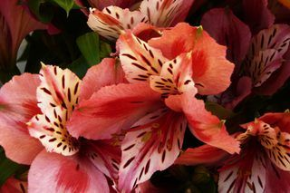 How to Grow Peruvian Lilies | eHow